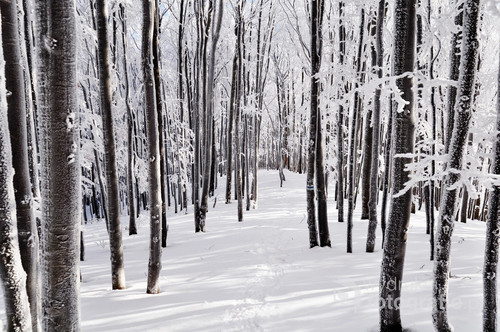 Zimą w Bieszczadach droga na szczyt często wiedzie przez piękny bukowy las