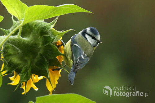 Zdjęcie zostało wykonane w ogrodzie. Wiedząc o tym, że różne ptaki, a zwłaszcza sikory lubią żerować na słonecznikach, posadziłem kilka sztuk z myślą o fotografowaniu właśnie takich scen. Fotografia przedstawia modraszkę, sikorę modrą.