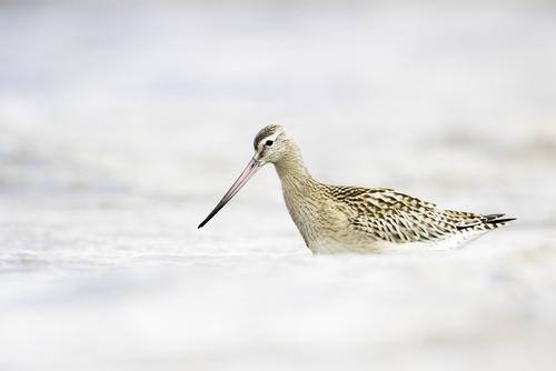 Szlamnik zwyczajny to bardzo wytrzymały ptak. Naukowcy zaobserwowali i potwierdzili, że jeden z osobników pokonał 12 000 km w ciągu 11 dni, pokonując trasę z Alaski do Nowej Zelandii - i to bez odpoczynku!  Zdjęcie wykonałem na brzegu Zatoki Gdańskiej w bardzo zachmurzony dzień, przy silnym, zimnym wietrze, leżąc płasko na brzuchu na mokrym piasku, tuż przy wodzie. Spędziłem w ten sposób dobre 2 godziny. Trzęsłem się z zimna, ale było warto.