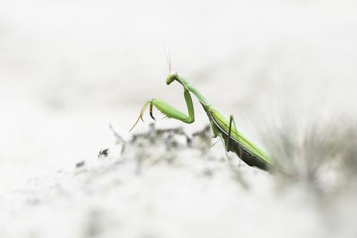 Modliszka zwyczajna - piękny, a zarazem zabójczy owad. Jest objęty ścisłą ochroną, jako gatunek wysokiego ryzyka.   Zdjęcie wykonałem podczas wrześniowego spaceru w lesie o podłożu piaszczystym.