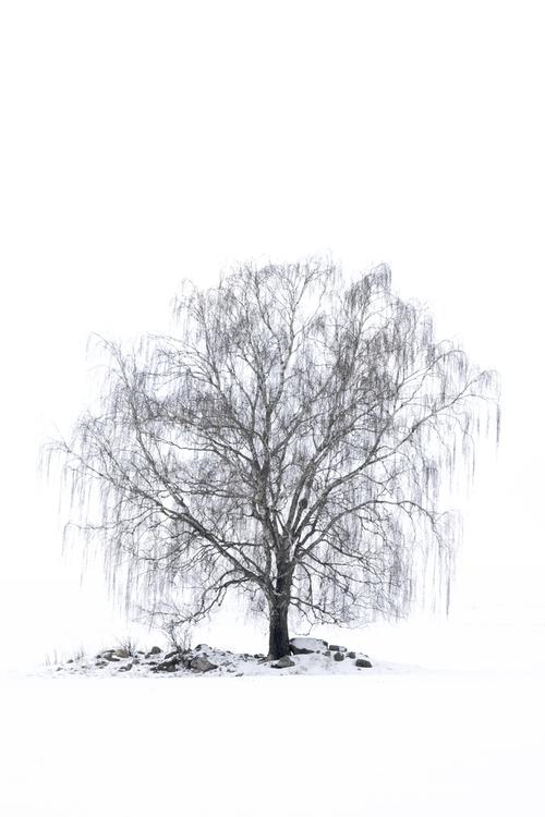 Samotna Brzoza na rozległym polu pokrytym grubą warstwą śniegu. Było zimno, około -15 stopni. Wybrałem się w teren w poszukiwaniu lisa, polującego w tak trudnych warunkach. Kiedy jednak zwierząt nie ma, staram się szukać innych tematów. Ta brzoza ciekawie prezentowała się na całkowicie białym tle.