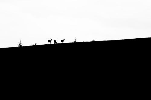 Sarny europejskie odpoczywające pośrodku rozległego pola, na niewielkim wzniesieniu. Było całkowite zachmurzenie, kontrast wysoki, więc zdecydowałem się przedstawić zdjęcie jako czarno-białe.