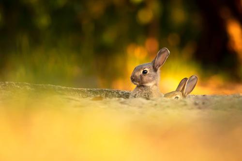 Malutkie, bardzo czujne króliki europejskie, wypatrujące możliwego niebezpieczeństwa.   Zdjęcie wykonane podczas zachodu słońca, kiedy promienie o bardzo ciepłych barwach oświetlały roślinność.  Fotografia została nagrodzona - zdobyła I miejsce w konkursie letnim:  Okiem Fotografa 2020