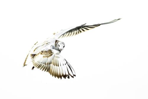 Mewa śmieszka - wszędzie ich pełno, jednak sfotografowanie jej w trakcie lotu, przy odpowiedniej perspektywie i pozycji wymaga spędzenia z nimi trochę czasu.
