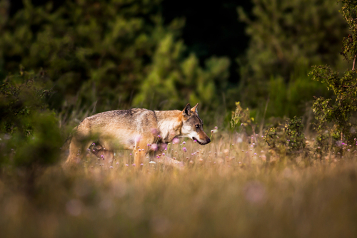 Płochliwy, niezwykle ostrożny, tajemniczy, silny i czujny. Wilk szary - naturalny selekcjoner, opiekun bilansu lasu.   To zwierzę budzi we mnie zawsze najgłębsze emocje. Pierwsze spotkanie z wilkiem w cztery oczy to moment, którego nie zapomnę nigdy. Sytuacji z wilkami miałem już kilka: siedziałem wśród traw obserwując grupę 5 osobników, dwa razy trafiłem na wilka samotnie przemierzającego las, a raz byłem zaledwie 30-40 metrów od grupy liczącej około 8-10 osobników, bezszelestnie wędrujących śródleśną polaną, po zachodzie słońca, kiedy było już ciemno, a ich sylwetki przemieszczały się po jasnym tle, które dawała mgła.