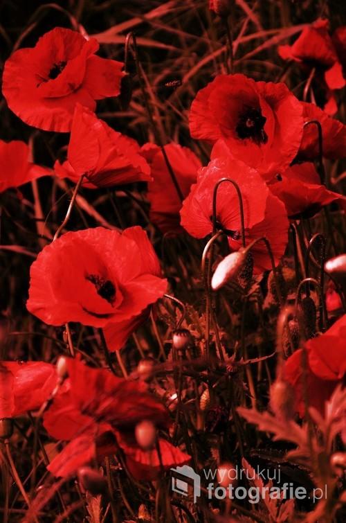 Wiosenne maki w czerwonych kolorach.