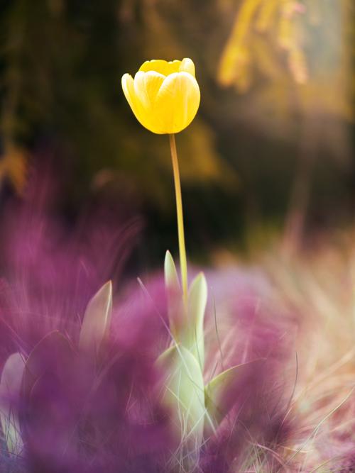 Żółty wiosenny tulipan.
