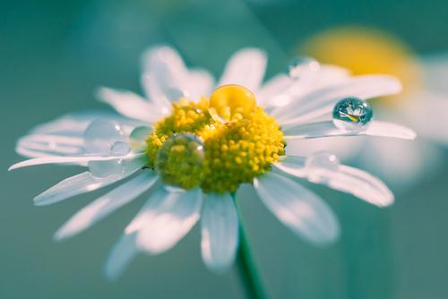 Makrofotografia stokrotki. Uroku dodaje jej kropla wody w której odbija się drugi kwiat na drugim planie.