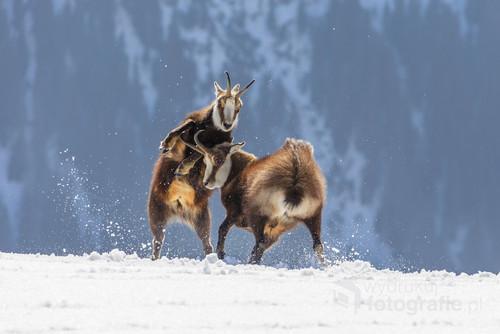 Zimowa potyczka kozic uchwycona w Tatrach.  Zdjęcie zostało nagrodzone I miejscem w konkursie fotograficznym  organizowanym przez Bieszczadzki Park Narodowy