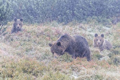 Niedźwiedzica z młodymi żerujące na jagodach podczas śnieżycy.  Zdjęcie zostało nagrodzone I miejscem w konkursie fotograficznym  organizowanym przez Kampinoski Park Narodowy