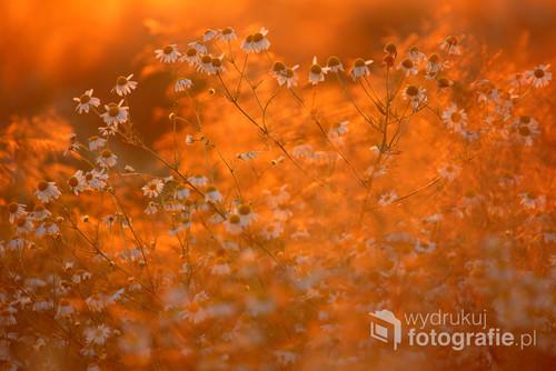 Rumian polny w blasku zachodzącego słońca