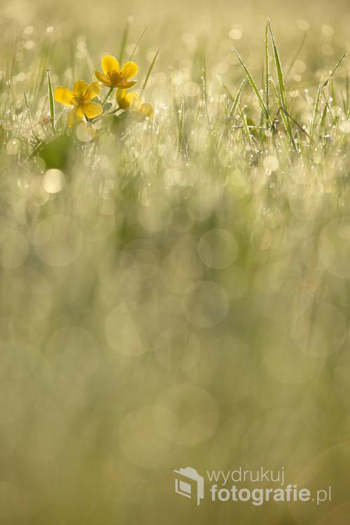 Knieć błotna-kaczeńce na pokrytej rosą wiosennej łące. Wyróżnienie w kategorii Rośliny, grzyby, śluzowce, mchy i porosty w okręgowej edycji konkursu na Fotografa Roku 2017 ZPFP.
