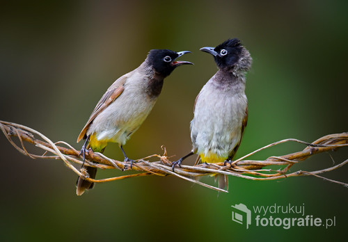 Bulbul is the size of small obesity and often movements and movements fast, characterized by the blackness of the head and white abdomen and yellow color deficit and back and tail light black. White eyeball
