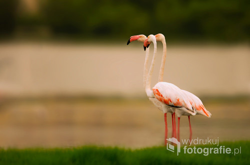 Three flamingos stand in harmony and harmony in one of the national reserves in Dhofar, Sultanate of Oman ------------------------ These photos won a prize in a contest ArabPx.com Featured image