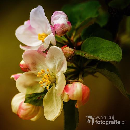 Kwiaty jabłoni sfotografowane wiosenną porą.