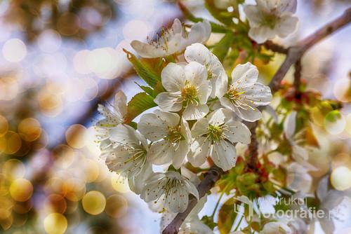 Kwiaty czereśni wiosenną porą.