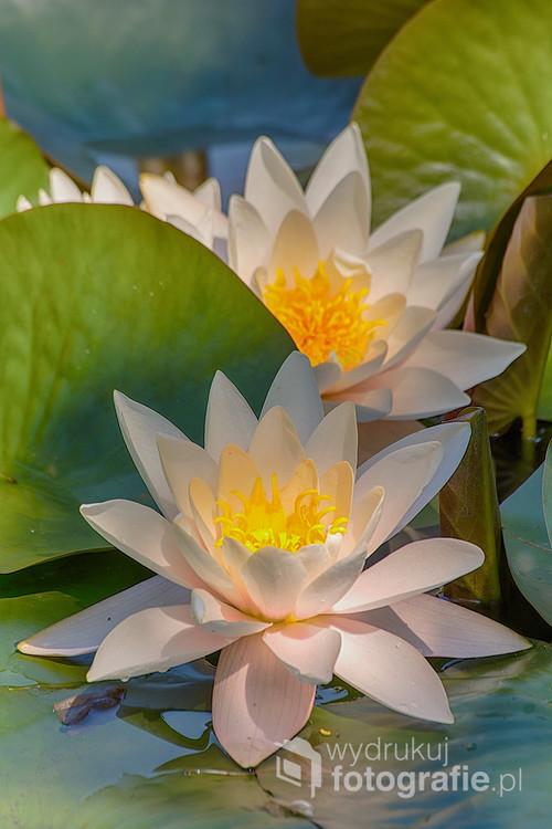 Lilie wodne sfotografowane w ogrodzie botanicznym