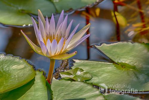 Lilia wodna sfotografowana w ogrodzie botanicznym