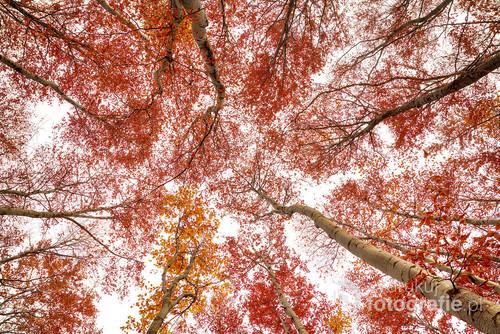 Jesienny buczynowy las widziany z ziemi.