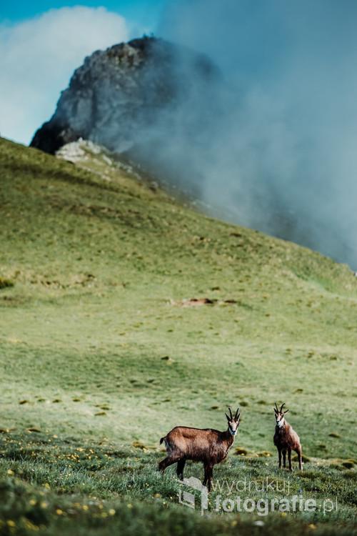 Kozice obserwowane na przełęczy Liliowe.