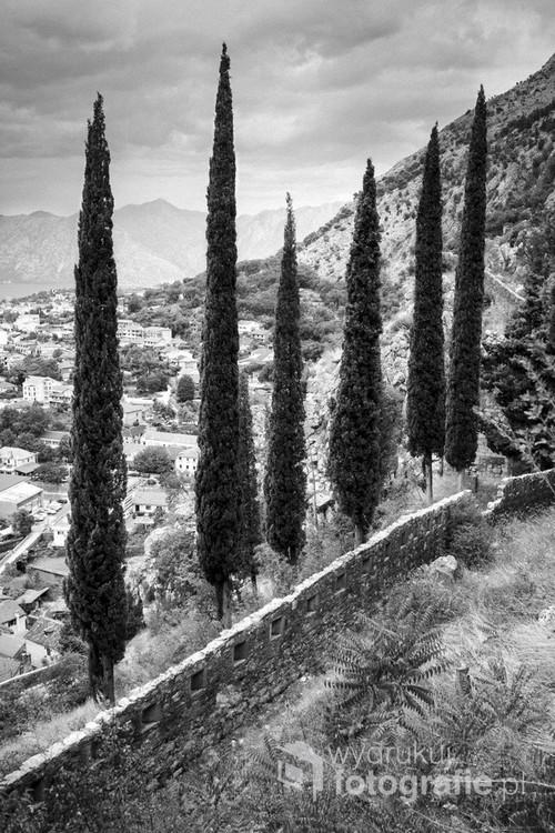 Fotografia cyfrowa, wykonana w Czarnogórze. Przedstawia cyprysy, fragmenty muru otaczającego Kotor, a na drugim planie elementy miejskiej zabudowy.