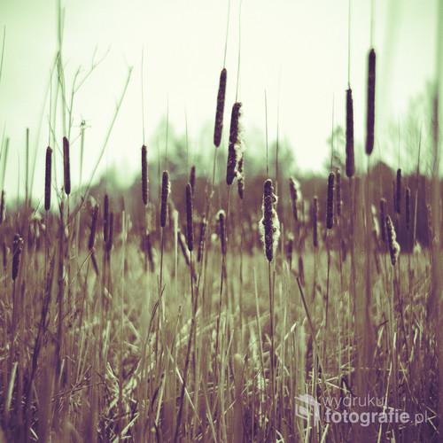 Puszcza Kozienicka. Marzec 2015. Stary puszczański staw zbiera swoje plony. Szuwary pochłaniają go z roku na rok, tworząc swoistą wyspę pośród zdominowanego przez drzewa iglaste lasu. Niebawem kolejny etap wegetacji – wiosna przyniesie nowe plony, tymczasem pałki zrzucają powoli swoje puchowe okwiaty.  Zdjęcie zostało wykonane średnioformatowym aparatem Yashica Mat 124G, na profesjonalnym slajdzie, diapozytywowym FUJIFILM Provia 100 F, wywołanym w procesie negatywowym C-41. Wywołanie tego typu materiału (slajd) w procesie automatycznym przynosi niespodziewane rezultaty w postaci wysokiej kontrastowości, rozbalansowania kolorów, wysokiej saturyzacji oraz zwykle wyraźnej dominanty barwnej.