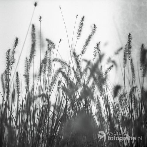 Październik 2016 roku. Zima nadchodzi wielkimi krokami. Trawy ozdabiające miejsce ulice Wilanowa już dawno przybrały złote odcienie, czekając na ostatnią fazę cyklu swojego życia. Zdjęcie wykonane techniką fotografii analogowej, aparatem średnioformatowym Yashica Mat 124G, na profesjonalnym monochromatycznym materiale światłoczułym Ilford FP 4 Plus. Film wywołany i zeskanowany w domowej ciemni.
