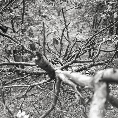 It's good to have a strong roots. Można być wielkim i upaść. Wszystko zależy od tego ile trudu włożysz w podstawy. Fotografia wykonana w lasach Rembertowsko-Okuniewskich. Fotografia wykonana techniką analogową, średnioformatowym aparatem TLR Yashica Mat 124G. Obraz uwieczniony na profesjonalnym materiale światłoczułym Ilford hp 5 plus.