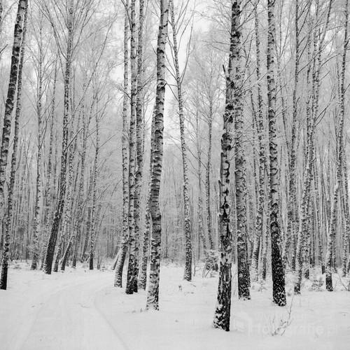 Zimowy las brzezionowy. Północne Mazowsze, okolice Ciechanowa.  Zdjęcie wykonane techniką średnioformatowej fotografii analogowej. Film Ilford XP 2 Super 400. Aparat Yashica Mat 124 G. Styczeń, 2013 rok.
