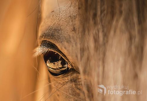 Fotografia przedstawia oko ogiera arabskiego