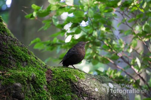 Pięknie pozująca samica kosa przy wejściu do lasu  w Gdyni Witomino. Kiedy jestem w lesie zawsze te ptaki zarówno samice i samce towarzyszą mi w moich wędrówkach. Przeważnie słychać ich piękny śpiew godowy między marcem, a lipcem i szelest liści kiedy poszukują pokarmu.