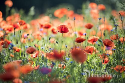 Łąka pełna maków. Fotografia wykonana w piękny czerwcowy poranek.