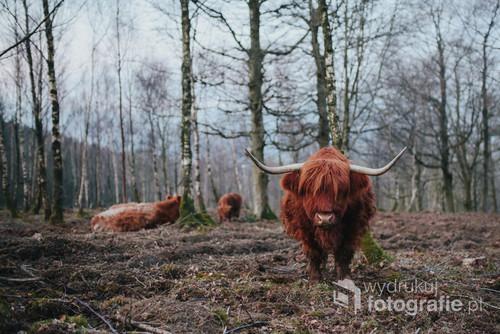 Górska krowa