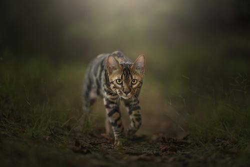 Skradający się młody kot bengalski.