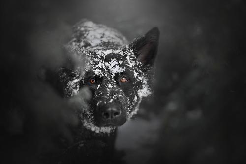 Owczarek niemiecki cały w śniegu.