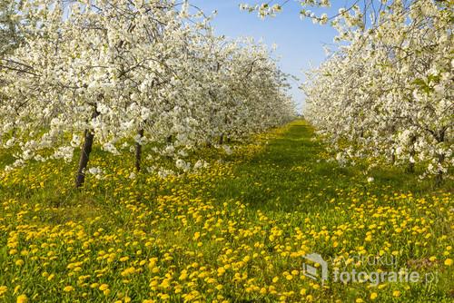 Koniec kwietnia , kwitnące sady na Mazowszu.