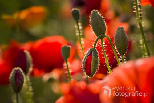 makowe pole w maju, czyli mnóstwo czerwonego kwiecia