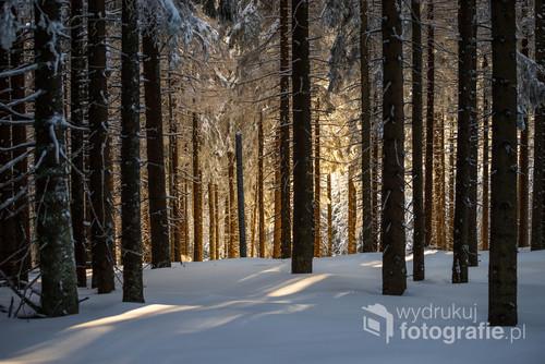 Na zboczu Hali Miziowej świerkowy las w zachodzącym słońcu