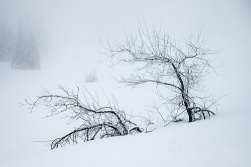 Po dużym opadzie śniegu przygięte, bezlistne drzewa  na Hali Miziowej w lutym br