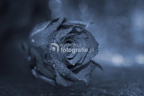 Róża w chłodnej tonacji.