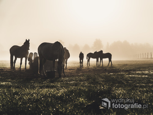 Stado koni na łące o podczas mglistego wschodu słońca