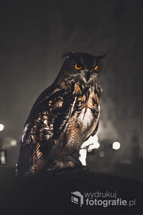 Sowa siedząca w nocy w środku miasta Gdańsk