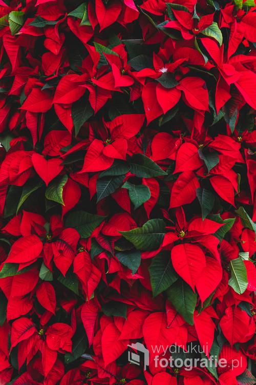 Roślina z czerwonymi liśćmi