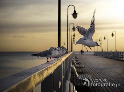 Molo w Gdyni Orłowie i jego stali bywalcy - mewy. Miejsce bardzo często przeze mnie fotografowane ze względu na malowniczy pejzaż. Wczesnym rankiem miejsce to jest ciche i spokojne, a jedyne dźwięki, jakie można usłyszeć, pochodzą od ptaków. Na zdjęciu udało mi się uchwycić moment wzbicia w powietrze spłoszonej moim zbliżaniem się mewy.
