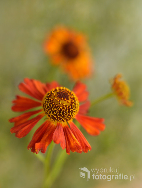 Dzielżany to wdzięczne i atrakcyjne rośliny ozdobne.