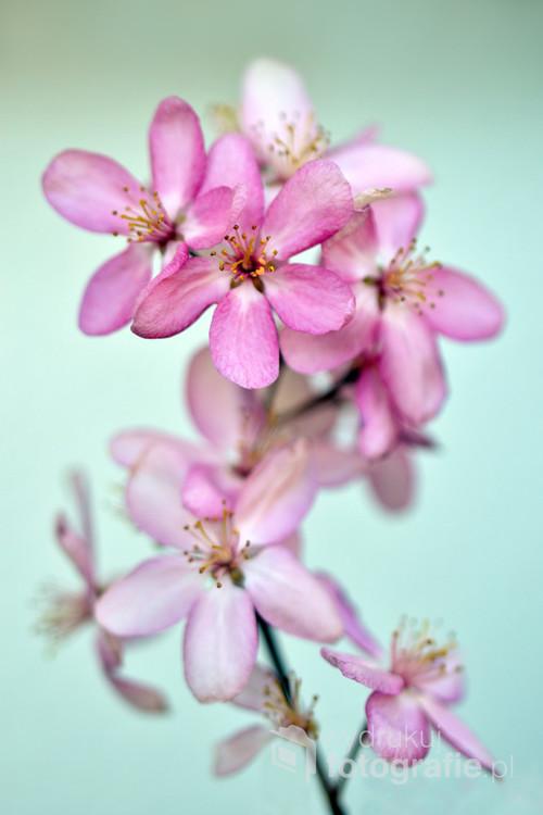 Kwiat jabłoni purpurowej