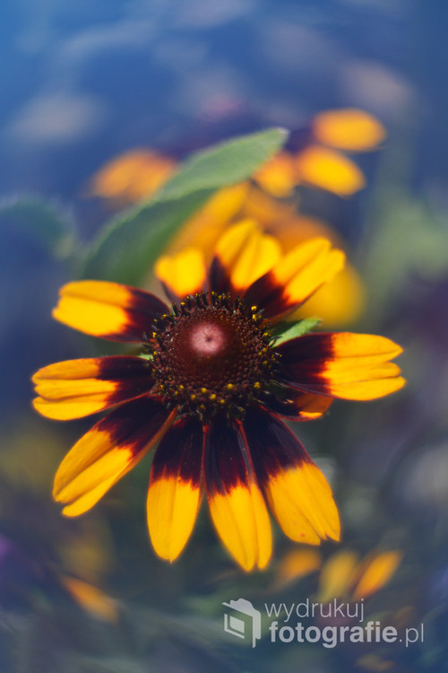 Kwiat ogrodowy.
