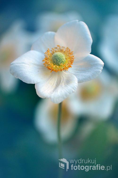 Zawilec-anemone,rodzaj roślin z rodziny jaskrowatych liczący około 159 gatunków.