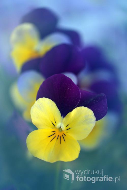 Bratek-fiołek jest jedną z najpopularniejszych roślin zdobiących nasze ogrody i balkony.