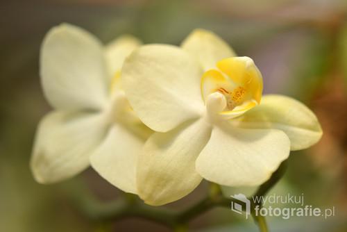 Storczyki zachwycają fantastycznym kształtem kwiatów i wspaniałymi kolorami.
